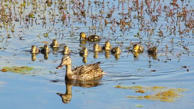 CU Mallard hen with eleven ducklings swimming in pond / Boulder, Colorado, United States