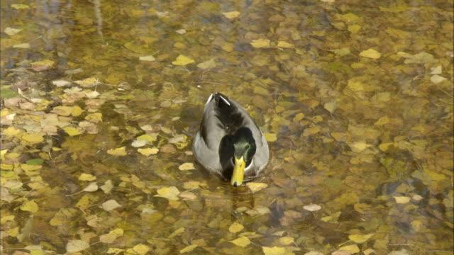 mallard  pond  canal  fallen leaves - mallard stock videos and b-roll footage
