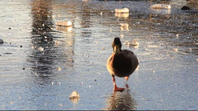 a mallard walking on a frozen lake windermere, lake district, uk. - mallard stock videos and b-roll footage