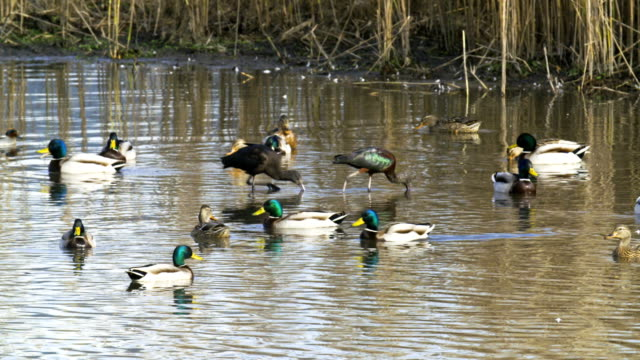 mallards in the water - eyal bartov stock videos and b-roll footage