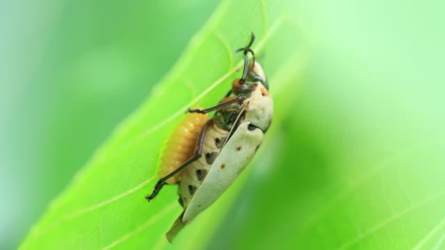 mallotus shield bug with its eggs, iriomote island - okinawa prefecture stock videos & royalty-free footage