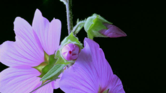 vidéos et rushes de t/l, ecu, mallow flower opening against black background  - violet
