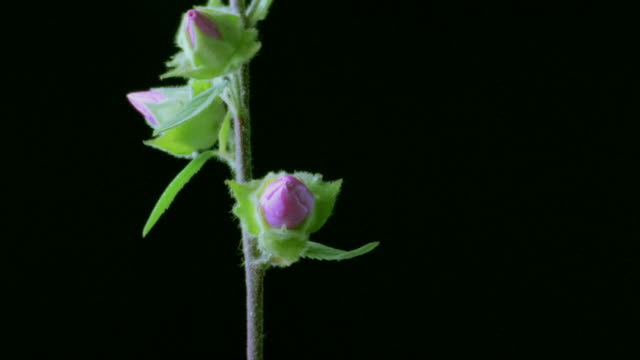 vidéos et rushes de t/l, cu, mallow flowers opening and closing against black background  - violet