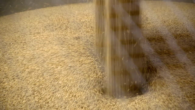 malted barley falls into back of lorry at maltings - cereal plant stock videos & royalty-free footage