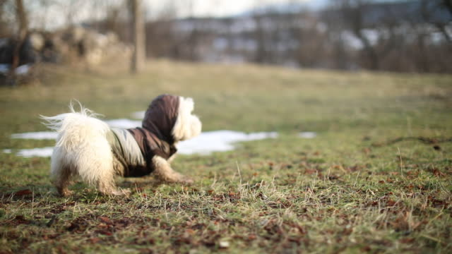 maltese dog barking - dirty stock videos & royalty-free footage