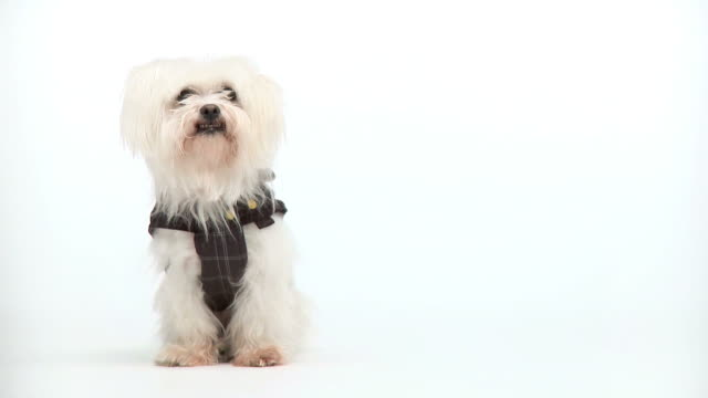 hd: maltese dog in a dress - vest stock videos and b-roll footage