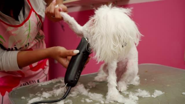 vídeos de stock, filmes e b-roll de cachorro maltês no salão de limpeza - bichos mimados