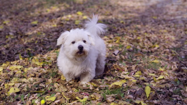 maltese dog outdoors in the park - small stock videos & royalty-free footage