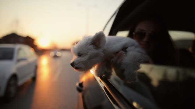 vídeos de stock e filmes b-roll de maltese dog peeking trough car window with wind in his hair - dono de animal doméstico