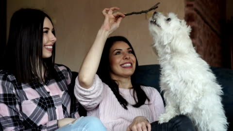 maltese dog playing with branch - licking stock videos & royalty-free footage