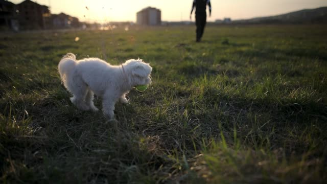 Malteser Hund kehrt zu seinem Besitzer mit Ball in den Mund