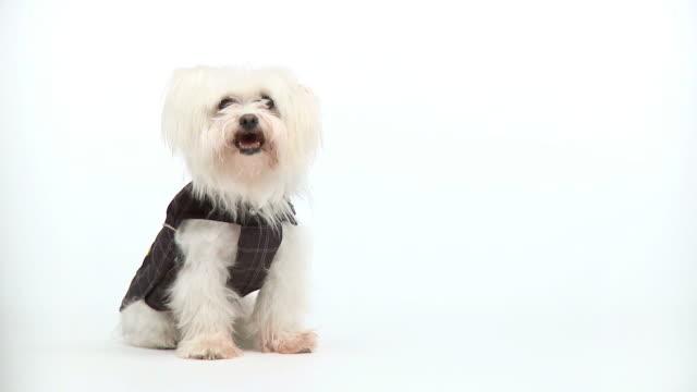 hd: maltese dog - animal costume stock videos & royalty-free footage