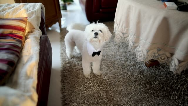 maltese dog with tie bow standing on carpet and waves his tail - formal stock videos and b-roll footage