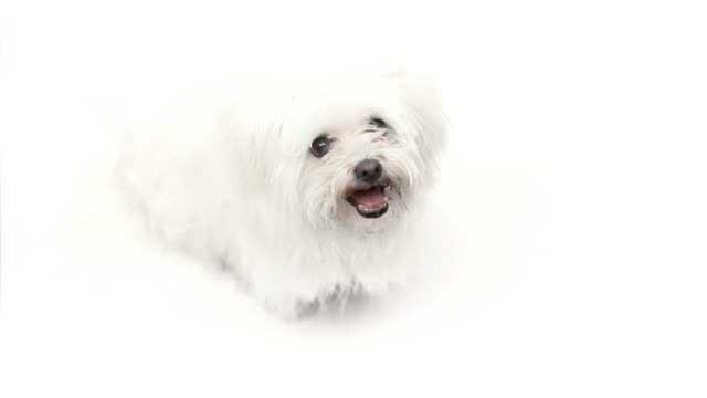hd: maltese doggy - plain background stock videos & royalty-free footage