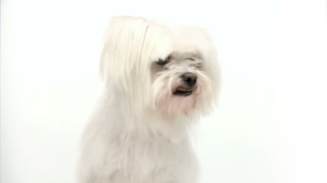 hd: maltese doggy - maltese dog stock videos and b-roll footage