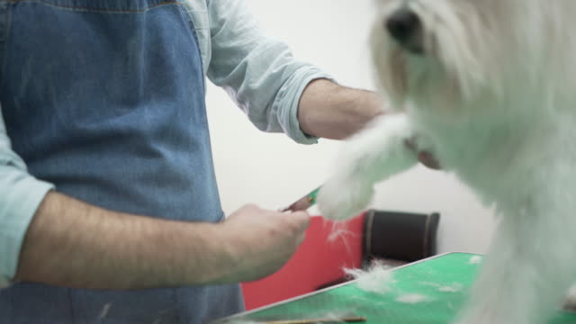 maltese grooming - scissoring the paw hair - brushing hair stock videos & royalty-free footage