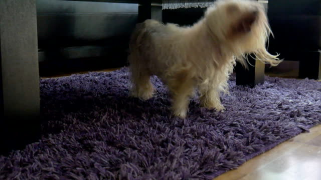 maltese puppy playing - shaking stock videos & royalty-free footage