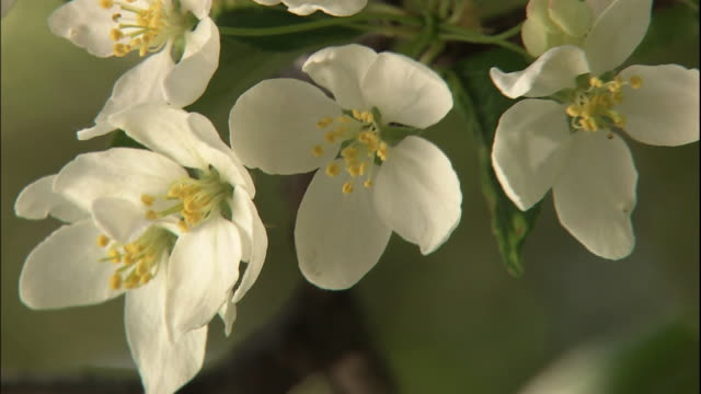 vídeos de stock e filmes b-roll de malus toringo flowers on a tree branch swaying in wind. - estame