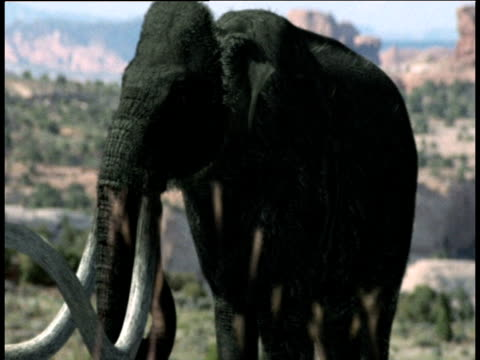 mammoth grazes and flaps its ears, usa - animal nose stock videos & royalty-free footage
