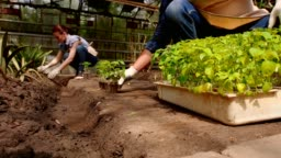 Man and woman gardeners are sorting the seedlings before planting in open ground in greenhouse.