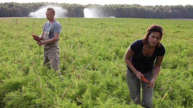 WS Man and woman harvesting carrots on organic farm / Brodowin, Brandenburg, Germany
