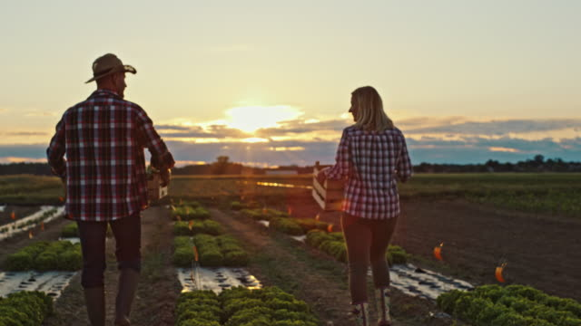 slo mo man and woman in plaid shirts working in a field with fresh vegetables at sunset - tartan stock videos & royalty-free footage