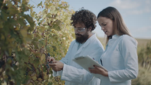 man and woman inspecting vineyard - grape stock videos & royalty-free footage
