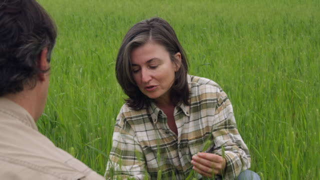 ms pan man and woman kneeling in field of green wheat discussing the crop with woman holding and checking ear of wheat / andalusia, malaga, spain - ear of wheat stock videos and b-roll footage