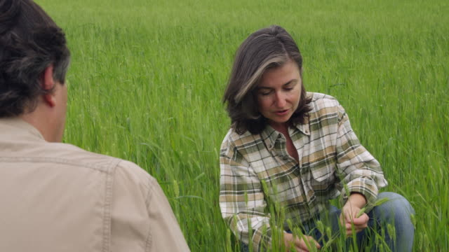ms man and woman kneeling in field of green wheat discussing the crop with woman holding and checking ear of wheat / andalusia, malaga, spain - ear of wheat stock videos and b-roll footage