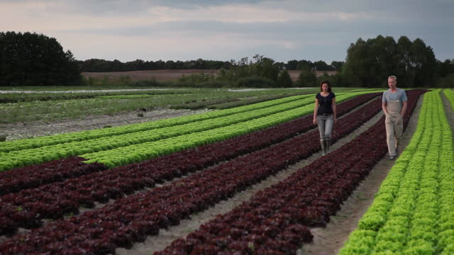 ws td r/f man and woman walking down rows of lettuce on organic farm / brodowin, brandenburg, germany - brandenburg state stock videos & royalty-free footage