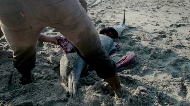 man butchers dolphin on the beach at lamalera, indonesia - cetacea stock videos & royalty-free footage