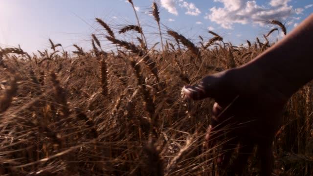 vídeos y material grabado en eventos de stock de hombre acariciando trigo - gladiador
