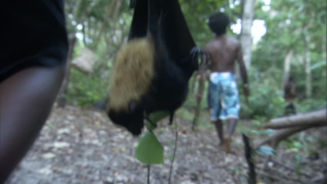 man carries dead fruit bat (pteropus sp.) through forest after hunt, vanuatu - one animal点の映像素材/bロール