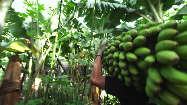 man carrying a just harvested bunch of bananas. following using a gimbal to get smooth motion - banana stock videos & royalty-free footage