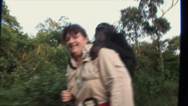 vídeos y material grabado en eventos de stock de ms ts man carrying chimpanzee on shoulders, men with stick in background / ngamba chimp sanctuary, ngamba island, uganda - chimpancé