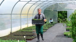 Man carrying plants in a crate in greenhouse
