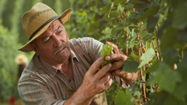 Man checking grape clusters as he cuts them by hand