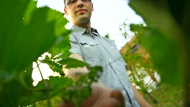 HD: Man Checking Grapes
