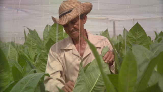 cu td man checking tobacco plants / san luis, pinar del rio, cuba - tobacco crop stock videos & royalty-free footage