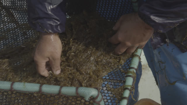 Man checks harvested seaweed for detritus and animals. Japan.
