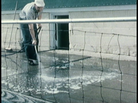 1963 montage man cleaning animal pen, black pigs walking in pen / united states - animal pen stock videos & royalty-free footage