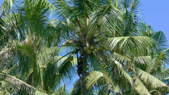 WS Man climbing down coconut palm trees with coconuts, Ubud, Bali, Indonesia