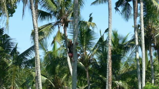vidéos et rushes de ws man climbing down coconut palm trees with coconuts, ubud, bali, indonesia - bali