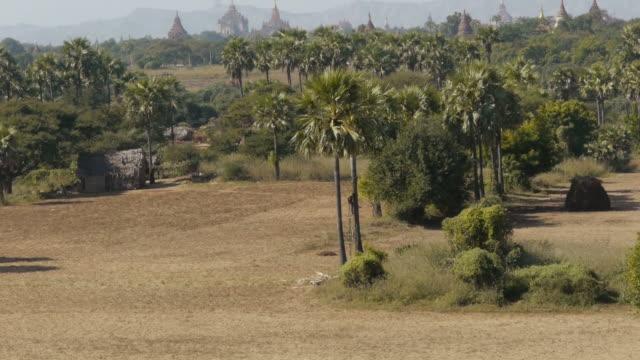 man climbing on palm tree in bagan, myanmar - spoonfilm stock-videos und b-roll-filmmaterial