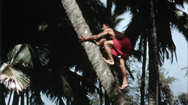 A man climbs to the top of a coconut palm tree.