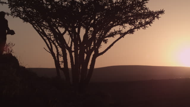 stockvideo's en b-roll-footage met man collects aromatic sap from frankincense tree at sunset, oman - hars
