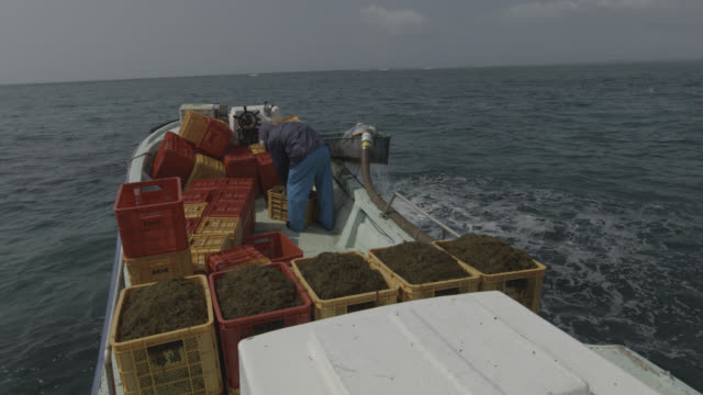 man crates up seaweed harvested from seabed. japan. - algae stock videos & royalty-free footage