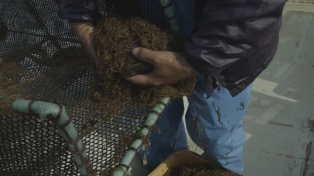 Man crates up seaweed harvested from seabed. Japan.