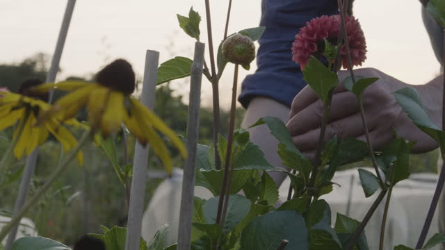 man cuts dahlia flowers with secateurs at allotment. - secateurs stock videos & royalty-free footage