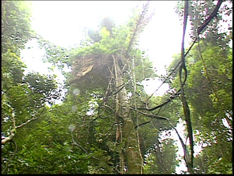 a man cuts down a tree in the amazon rainforest - roraima state stock videos and b-roll footage